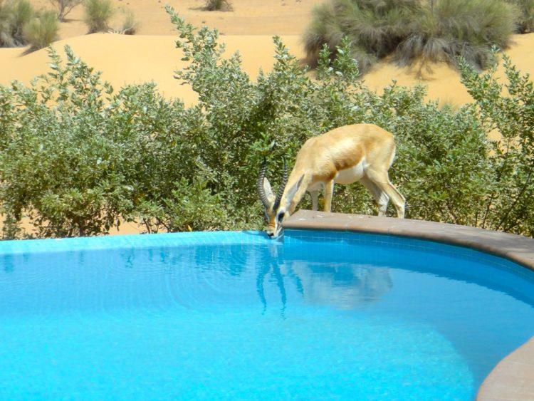 Al Maha Pool Gazelle
