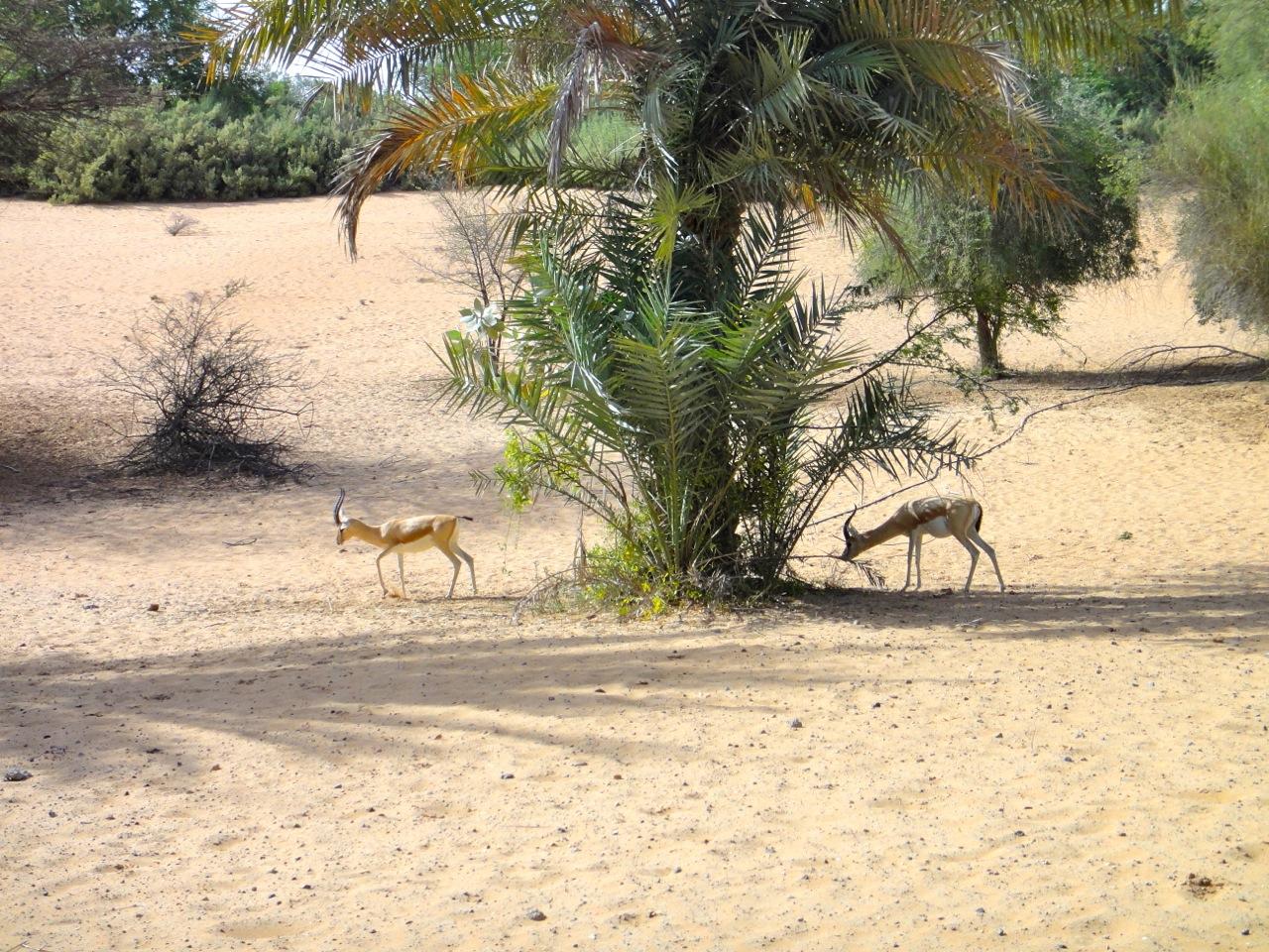young arabian gazelles at Al Maha Resort