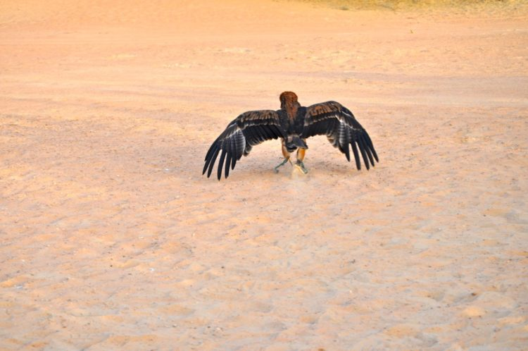 eagle_moving_away