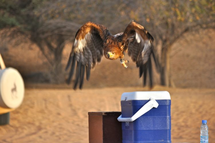 brown eagle stars flying