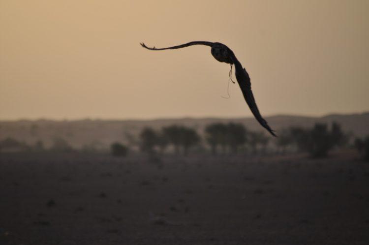 falcon desert