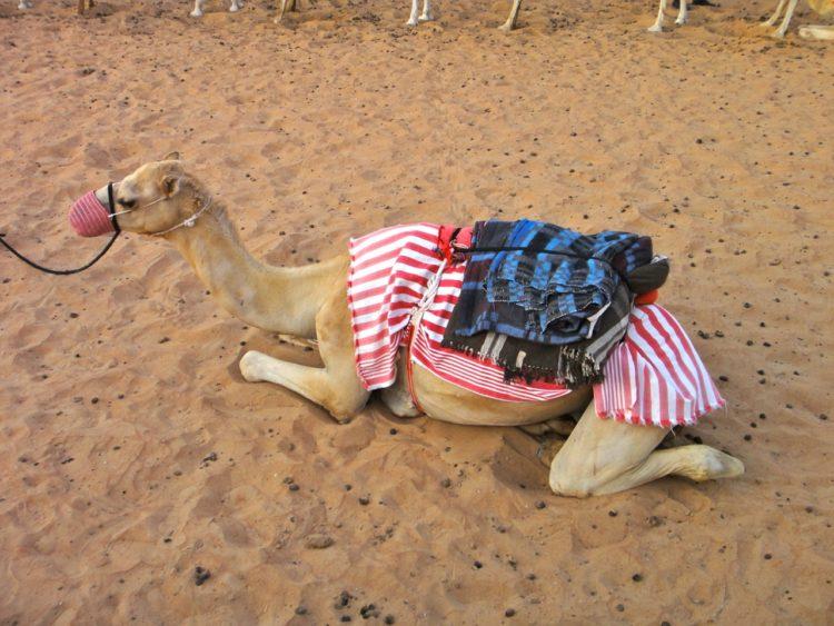 arabian race camel